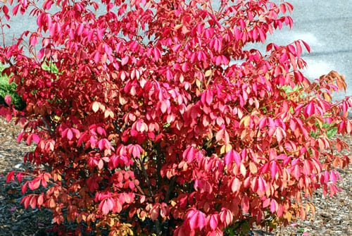 Euonymus or Burning Bush Leaves Turn Fiery Red