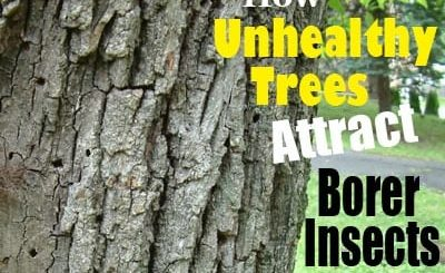 How unhealthy trees attract borer insects