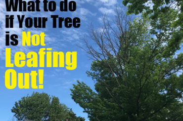What to do if your tree is not leafing out