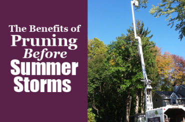 Benefits of pruning before summer storms