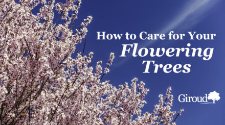 How to care for spring flowering trees